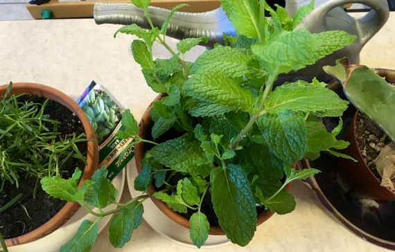 Growing culinary herbs for making the best meals ever.