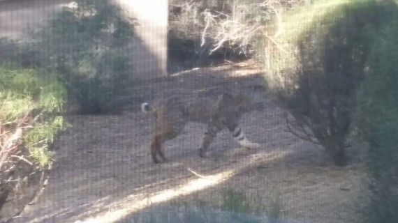 Wild Bobcat Came for Breakfast - I didn't share.