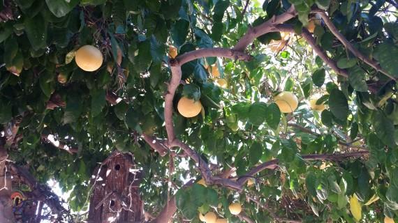 Organic pink grapefruit tree