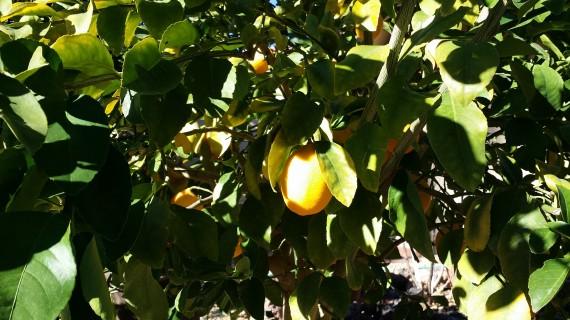 Meyer lemon deliciousness