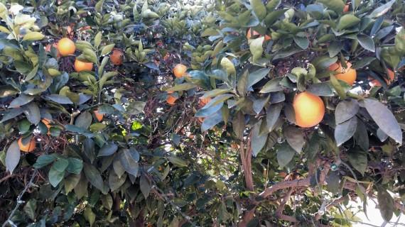 Organic orange tree