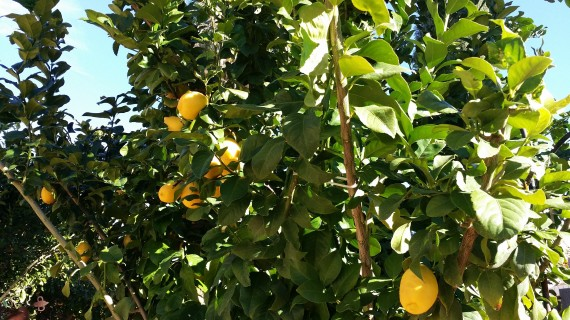 Meyer lemons. Cool, huh?